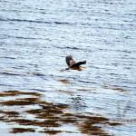 Naskeag-heron-in-flight