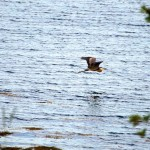 Naskeag-heron-in-flight-2